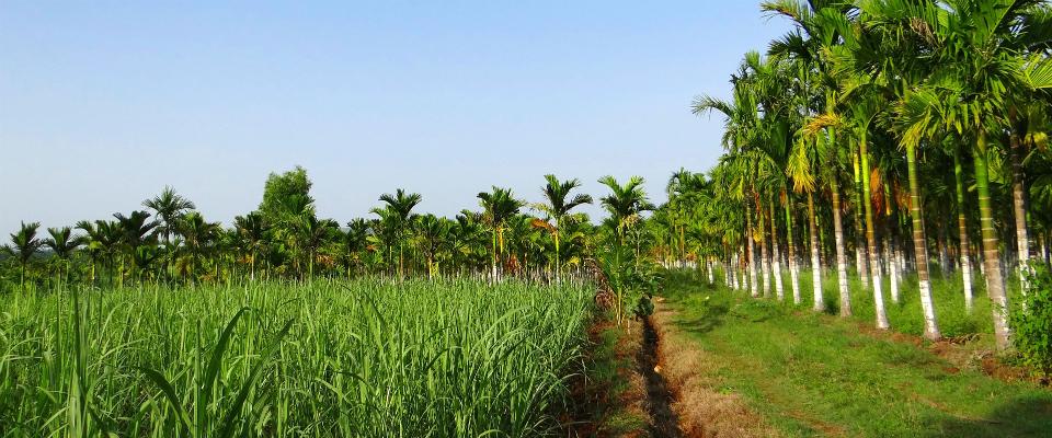 Culture - Rhum Plantation
